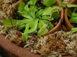 Dionaea3.jpg